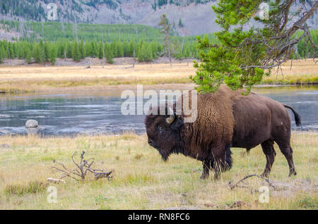 American Bison in Yellowstone National Park alongside the Madison River - Stock Photo
