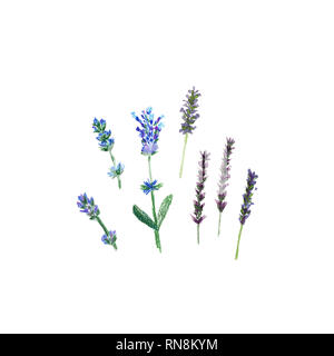 Lavender flowers in a watercolor and pencil drawing style isolated, watercolor botanical illustration on white - Stock Photo