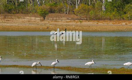 wide shot of the variety of  wildlife such as kangaroo, spoonbill and black necked stork at bird billabong in mary river national park near kakadu - Stock Photo