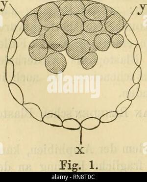 . Anatomischer Anzeiger. Anatomy, Comparative; Anatomy, Comparative. 770 Stelle der späteren Embryonalanlage auftritt, während wir sie an deni gegenüberliegenden Pol des Eies erwarten müßten. Vor allem aber geht aus dem unter dem van BENEDEN'schen Blastoporus liegenden Dotterzellenrest nicht, wie man früher meinte, nur der Hypoblast hervor, sondern auch der definitive Epiblast, während das, was van Beneden anfangs für den dauernden Epiblast ansprach, ein vergängliches Gebilde, die RAUBER'sche Deckschicht, ist. Auch sprechen natürlich alle Gründe, welche uns in dem Primitivstreif einen rudiment - Stock Photo