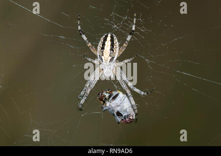 Western Spotted Orbweaver, Neoscona oaxacensis, with prey - Stock Photo