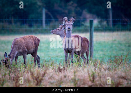 Young stags with antlers look up from grazing on a deer farm in Canterbury, New Zealand - Stock Photo
