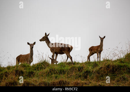 Mother deer and babies on a hilltop in the evening in South Canterbury, New Zealand - Stock Photo