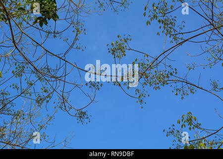 Young fresh birch leaves and earrings on tree branches with buds under blue sky. - Stock Photo