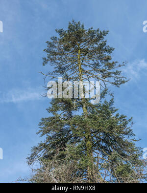 Coniferous tree canopy against blue springtime sky. - Stock Photo