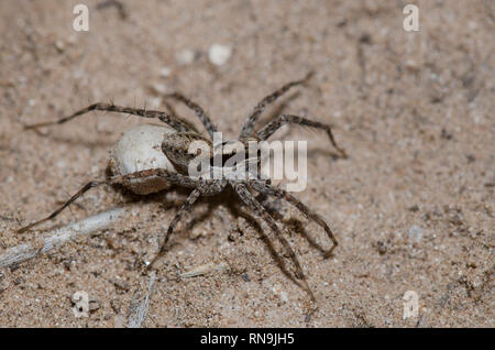 Thinlegged Wolf Spider, Pardosa sp., female with egg case - Stock Photo