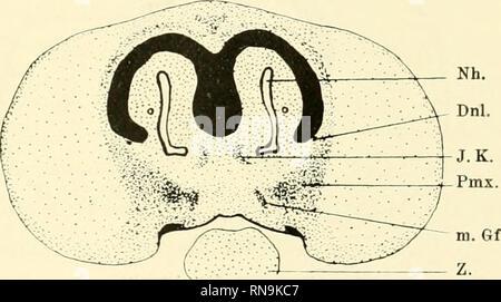 Anatomische Hefte  Fig  18   der Proc  cost  all  isl