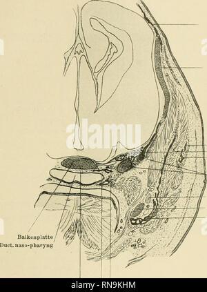 . Anatomische Hefte. Über das Primordialcranium von Perameles sphenoparietalis unterhalb des Ganglion Gasseri angelegl wird, und erst später mit der Balkenplatte verwachs!. Nach Blooms. Parietale Commissura orbito- parietalis S luamosum fiangl. V u. V, 2 iCygomatieiiin Ala temporalis V, 3 Cartilag. Meckelii Mandibulare Gaumen .N. parabasalis Säugerpterygoid. Fig. 6. Der Schnitt gehört nicht zu der Modellserie, sondern stammt von dem jüngeren Perameles (38 mm lang); er wurde gewählt, um die knorplige Ala tempo- ralis zu zeigen und geht grade durch das Foramen rotundum und den zweiten Ast des Tr - Stock Photo
