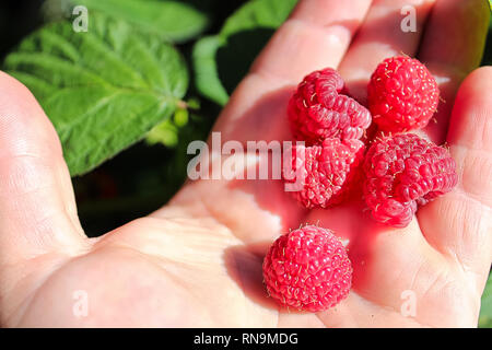 Closeup of ripe raspberries in a hand with leaves in the background - Stock Photo