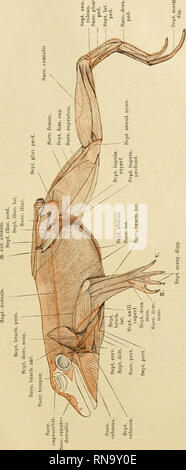 . Anatomie des Frosches. Frogs; Amphibians. Subcutane Lymphsäcke des Kopfes und des Rumpfes. 459. 1 _d o F CO 11 ji ST 02 « —f r bJD / y E  / /^ s - / P^ < 05 SL a ^. Please note that these images are extracted from scanned page images that may have been digitally enhanced for readability - coloration and appearance of these illustrations may not perfectly resemble the original work.. Ecker, Alexander, 1816-1887; Wiedersheim, Robert, 1848-1923; Gaupp, Ernst Wilhelm Theodor, 1865-1916. Braunschweig : F. Vieweg - Stock Photo