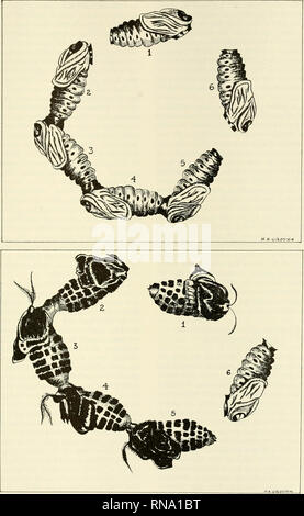 . Analysis of development. Embryology; Embryology. Metamorphosis 645. Fig. 226. Above, A chain of six brainless diapausing pupae had been established in parabiosis and a single chilled pupal brain implanted under the facial window of the anterior-most individual. When pupae 1 and 2 showed the initiation of development, about 17 days later, pupae i and 6 were detached as seen above. Below, The same preparation seven weeks later. After detachment of the brain- containing pupa, the activation has continued to spread down the chain of interconnected pupae. The isolated pupa, however, failed to dev - Stock Photo