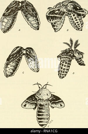 . Analysis of development. Embryology; Embryology. 640 Metamorphosis. Fig. 224. Parabiotic union in moth pupae. A,B, Brainless pupa of Platysamia cecropia grafted to a chilled pupa of the same species. The brain of the chilled parabiont provides hormone necessary for the development of both animals. C,D, Brainless diapausing pupa of Telea polyphemus grafted to a chilled pupa of P. cecropia. The successful development of both pupae shows that the brain factor is not species specific. This fact also shown by E, which is adult of P. cecropia developed from a brainless pupa which had received the  - Stock Photo