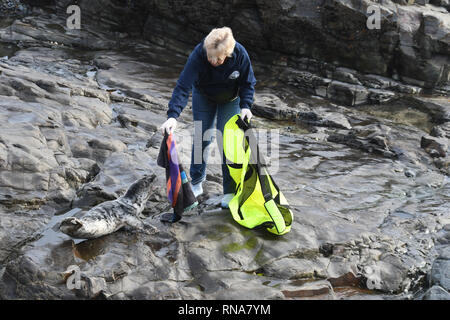 Volunteers trying to catch an injured grey seal stranded on rocks - Stock Photo