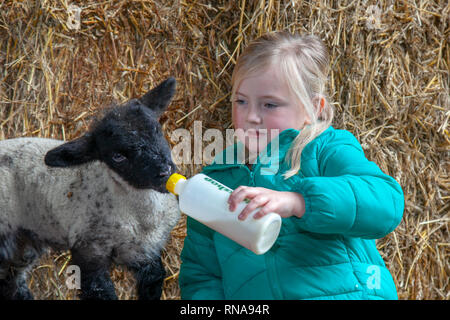 Burscough, Lancashire, UK. 18th February, 2019. Lambing time at the Animal Farm as Kasey Webster, 5 years old, helps with the care of lambs that have been orphaned, by feeding the animals which would otherwise die. Credit: MediaWorldImages/AlamyLiveNews. - Stock Photo
