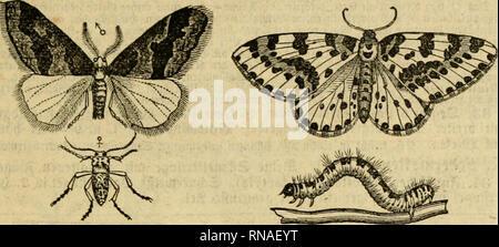 """. Analytischer Leitfaden für den ersten wissenschaftlichen Unterricht in der Naturgeschichte. Animals. III. ©d^mcttfrlinge (Lepidoptgra). IIT flügel mit mel)ren trcffcnförmigcn, bunfcin Diierlinicn, bcren einer ober jmei immer beutlid), bie übrigen meift nnbentlid) Pnb; 9 m't ftirjen g-liigel = fliimmeln, ir>eifi befiänbt, mit fditvarAbrannen Qiierbinben; c? 4'"""" l.n. I3""""'br. 9tp. nuf Cliflbnuiiicn niler «vt. il>fr ©chmcttrrliiia fliegt fift im 9!oiicmbcr obcv ©ccemher, pnart fich an S^numcn fificnb, bnfl Q tiiecf)t bann oocf) auf bic S?mimc iinb tlflit bie tlciiitn feicr an Sin - Stock Photo"""