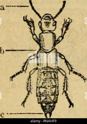 . Analytischer Leitfaden für den ersten wissenschaftlichen Unterricht in der Naturgeschichte. Animals. V. ÄlafTe. Snfeftcn, Äerfe, Äerbtl)icvc, Sed)6fu6er (Insecta). 83 IL 9lingeltl)iere ober ^tit>ttti)utt §. no. (Arthrozoa)* §.23. ^fr nift)r län(]licl)e alö breite, jtitticilcii itnuniförmiflc Äorj)cr beftel)t ou8 bieltn, [)inlcr ciiuinbcr licgctiten ©liebem (JKingelii) mit cifGlifbcrtcn Se« h)egun(iöorgancii (33ciiicn), liHMd)e mir bem, cft auct) tuenig bentlid} geglies berfcn Äört^er ber ffiurmer fet)[en. Sei ben lBirbeU[)icren finb (mit $lu&na[)me ber Sc!)ilbfröten) bie a}hi6feln an - Stock Photo