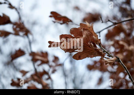 Brown oak leaves dead on a tree in winter - Stock Photo