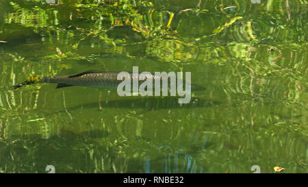 shot of a large barramundi swimming in a billabong - Stock Photo