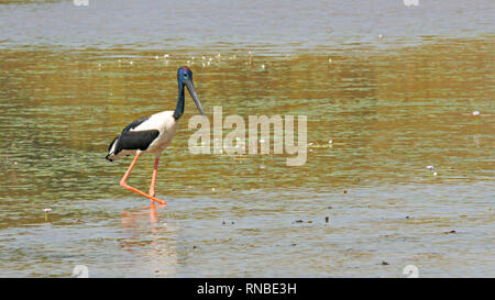 black-necked stork at bird billabong in mary river national park - Stock Photo