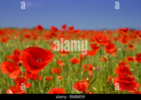 Idyllic landscape, field full of beautiful red poppies, blue sky in the background - Stock Photo