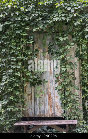 Virginia creeper (Parthenocissus quinquefolia) covers a rusty old metal shed door, painted pale blue - northern Italy - Stock Photo