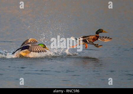 Mallard (Anas platyrhynchos) two males fighting and running over water surface on lake, Baden-Wuerttemberg, Germany | usage worldwide - Stock Photo
