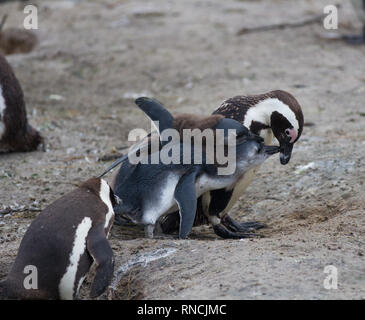 African penguin family: mother with two new born babies chickes. Feeding chickers - Stock Photo
