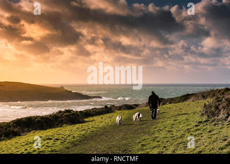 A man taking his dogs for a walk on Pentire Point East at sunset in Newquay Cornwall. - Stock Photo