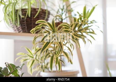 White Green Striped Indoor Chlorophytum Comosum Spider
