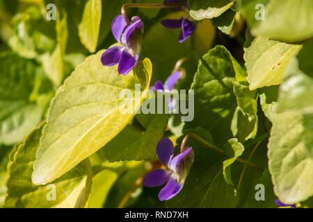 Viola odorata, Wild Sweet Violet Flowers - Stock Photo