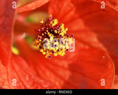 Closeup on the reproductive parts of an Red Indian Mallow flower - Stock Photo