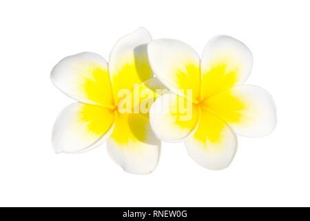 White frangipani flowers plumeria acutifolia on white background - Stock Photo
