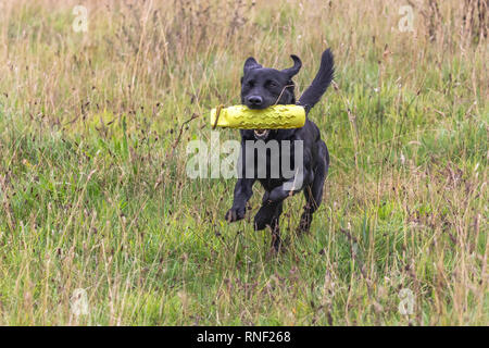 A black labrador retriever  is running through grass with a gun dog dummy in his mouth. - Stock Photo