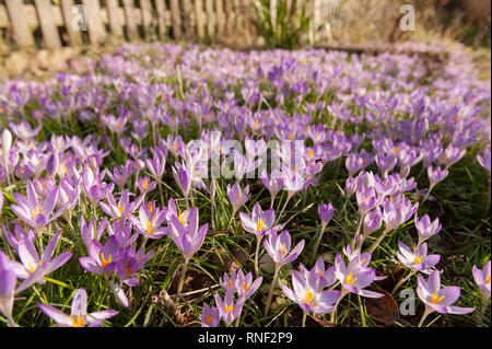 Early morning Spring sunshine causes early woodland purple crocuses to open up showing saffron and pollen, Crocus tommasinianus, in naturalistic drift - Stock Photo