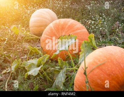 Large pumpkins that lie in the autumn field, close-up, squash, solar, autumn - Stock Photo