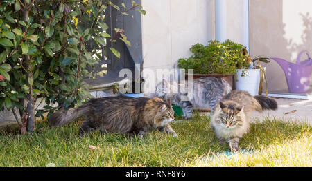 Haired cats of siberian breed in a garden. Adorable pets on the grass green, hypoallergenic animals of livestock in relax - Stock Photo