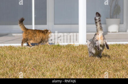 Long haired cats of siberian breed in a garden, playing time - Stock Photo