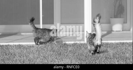 Haired cats of siberian breed in a garden. Adorable pets outdoor on the grass green, hypoallergenic animals of livestock in relax - Stock Photo