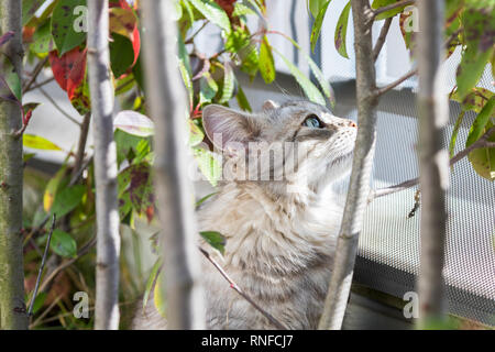 Long haired cat of siberian breed in a garden. Adorable pet outdoor under the plants, hypoallergenic animal of livestock looking up - Stock Photo