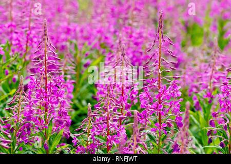 Rosebay Willowherb (epilobium angustifolium, also chamerion angustifolium or chamaenerion angustifolium), a common sight throughout the UK. - Stock Photo
