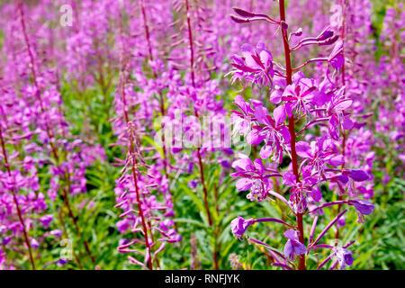 Rosebay Willowherb (epilobium angustifolium, also chamerion angustifolium or chamaenerion angustifolium), a common sight throughout the summer. - Stock Photo