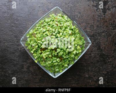 Broccoli Raab (Brassica rapa var. cymosa) sprouts
