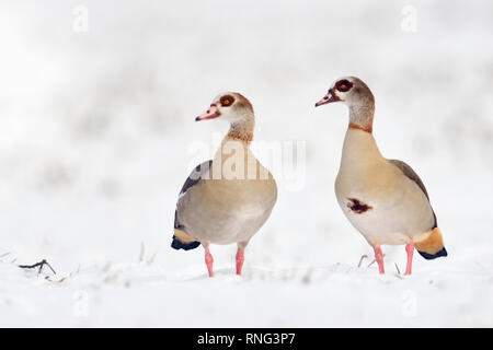 Egyptian Geese / Nilgaense (Alopochen aegyptiacus) pair, couple in winter, standing next to each other in fresh fallen snow, watching, wildlife, Europ - Stock Photo