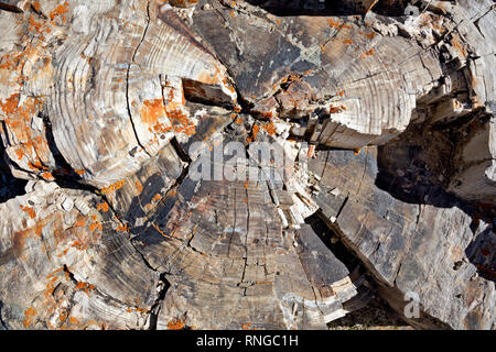 WY03802-00...WYOMING - Growth rings on a petrified tree found on Specimen Ridge, thought to be the location of the largest petrified forest in the wor - Stock Photo