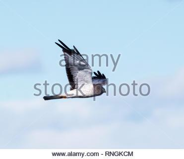 Northern Harrier, Circus cyaneus, Marsh Hawk, male, flying in Arizona USA - Stock Photo