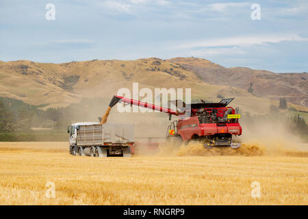Sheffield, Canterbury, New Zealand, February 19 2019: A Case combine harvester unloads to a truck alongside while working in a wheat field - Stock Photo