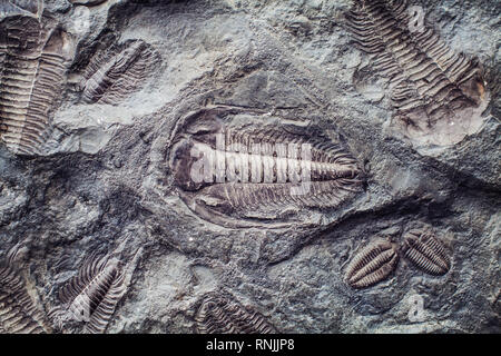 The imprint of the ancient trilobites in a stone. Trilobites, a fossil group of extinct marine arachnomorph arthropods, class Trilobita - Stock Photo