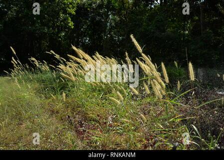 Long grass swaying in the breeze, pasakdek - Stock Photo