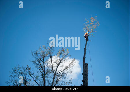 Trimming in Paris, ÒQuai de JemmapesÓ. Tree-trimmer atop a tree and blue sky in the background - Stock Photo