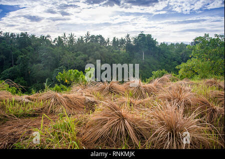 Campuhan Ridge Walk, Ubud, Bali, Indonesia. Colourful clumps of rice drying in the sun with lush green forest and blue, cloudy sky background - Stock Photo